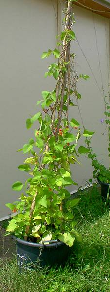 Les plantes grimpantes for Plantes grimpantes