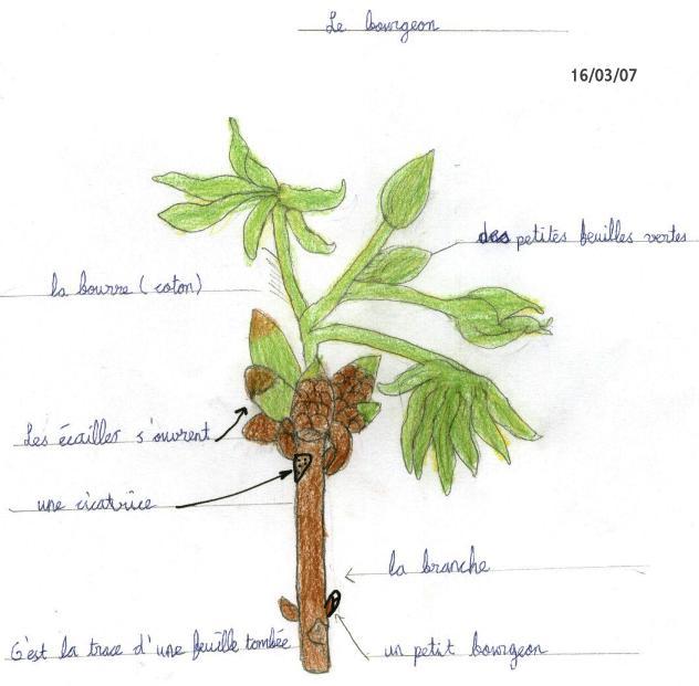 Le bourgeon de marronnier - Dessin bourgeon ...